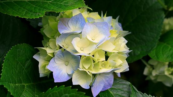 upload/34768/20190311/Hydrangeas95.jpg